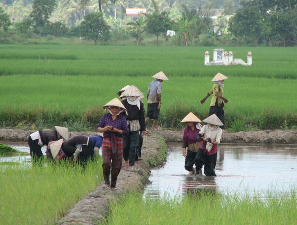 787413-Women-working-in-the-rice-fields-0